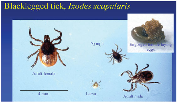 Image comparing the size of Adult Female Tick, Adult Male Tick, Nymph, Larva and Engorged Female Tick Laying Eggs