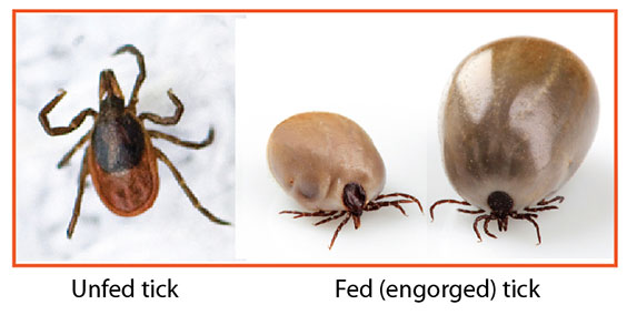 Unfed and Fed (engorged) Ticks
